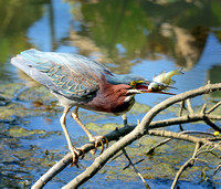 Green Heron Lunch